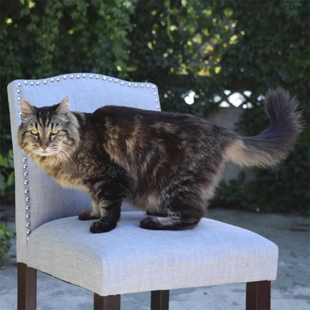 Corduroy faz pose ao ser apresentado pelo 'Guinness' como o gato mais velho do mundo, em Oregon, nos EUA ('Guinness Book'/Reuters)