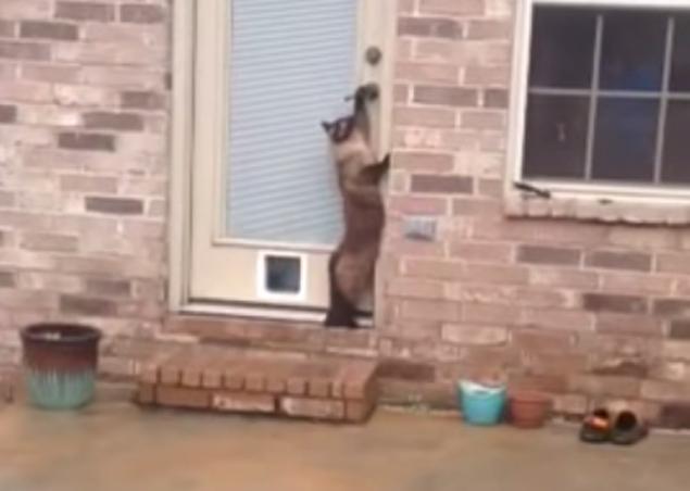 O gato Philo não gostou da passagem para animais que seu dono instalou na porta de casa (Reprodução/YouTube/Philo Cat)