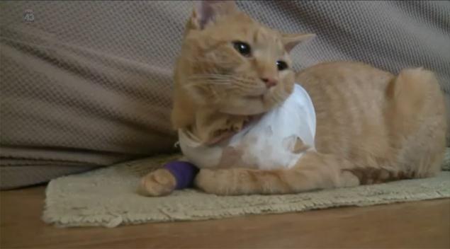 O gatinho Opie foi atingido por uma bala perdida, na Pensilvânia, nos EUA (Reprodução/Fox News)