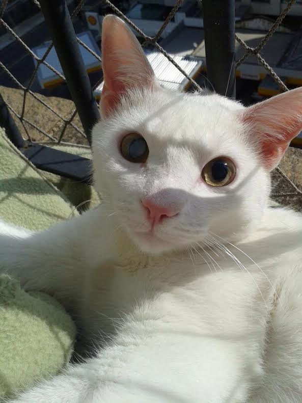 O gatinho Shiro, 3, foi resgatado da rua e adotado; ele tem sinusite e precisa ser medicado toda vez que há mudanças bruscas de temperatura (Foto: Arquivo Pessoal)