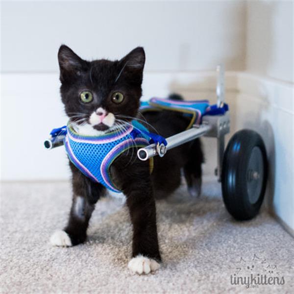 Cassidy testa a cadeira de rodas criada especialmente para ele (Reprodução/TinyKittens)