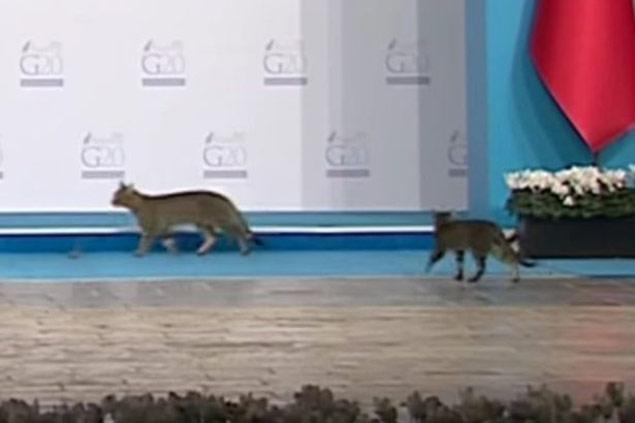Três gatos invadem o palco onde ocorria a reunião da cúpula do G20, na Turquia (Reprodução/YouTube)