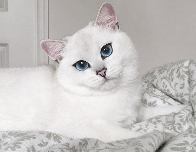 Coby é da raça british shorthair e parece usar delineador no estilo 'gatinho' (Reprodução/Instagram/cobythecat)