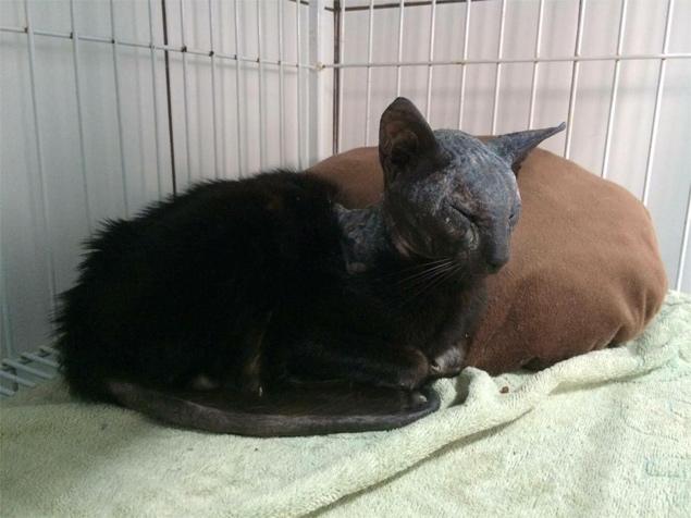 O gatinho Fênix se recupera das queimaduras em uma clínica veterinária em Florianópolis (Divulgação/Adore Um Ronrom)