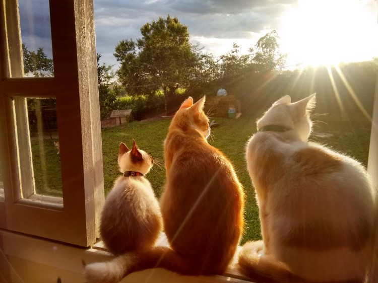 Os gatinhos Fred, Mic e Rob, da Giane Raguzo, de Gravatal (SC)