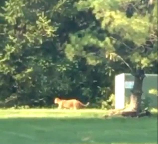 O suposto felino gigante foi filmado por moradores da região (Reprodução/YouTube)