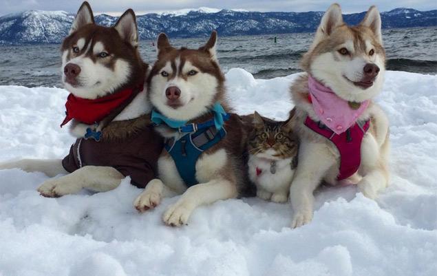 A gatinha Rosie entre os cães da raça husky (Reprodução/Instagram/lilothehusky)