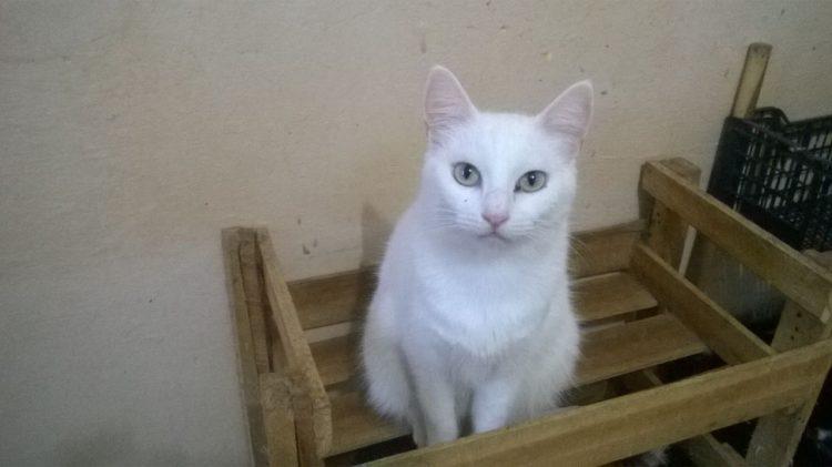 A gatinhas Magnólia (branca) e Mustache (preta e branca, na foto acima) estarão no evento (Divulgação)