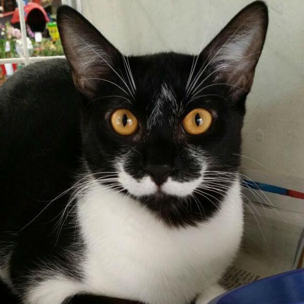 A gatinha Mustache está para adoção na ONG SalvaGato